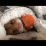 Little hamster tucks himself in with a sleepy carrot snack